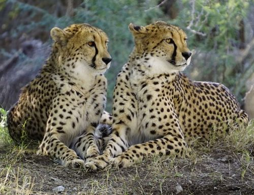 Tenikwa cheetah sanctuary